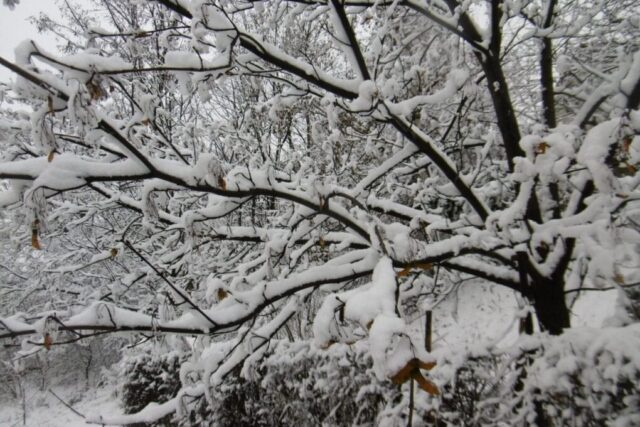 Kde napadne sníh? Zasněžené stromy.