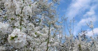 Krátce pravé jaro, poté citelnější ochlazení. Květy keřů.