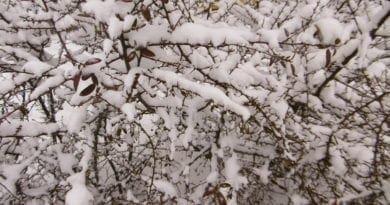 Další ochlazení a noční mrazy. Sníh na keřích.