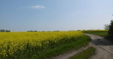 Další týden bude slunečný a velmi teplý. Řepkové pole.