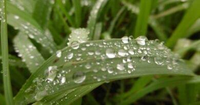 Intercepce a infiltrace atmosférických srážek. Kapky deště na listu trávy.