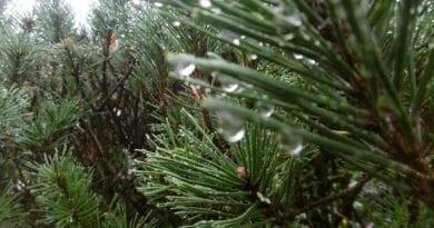 Standardizovaný srážkový index. Vznik a vývoj cyklony. Usazené stránky na jehličnatém stromu. Ochlazení a srážky, ještě ale horko bude.