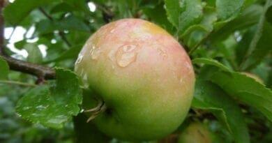 Usazené srážky na jabloni. Září začne vydatným deštěm a studeným počasím.