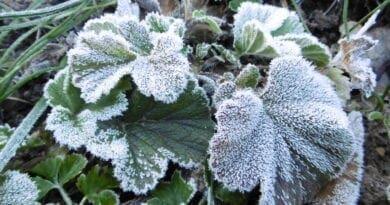 Jíní na listech, začíná období přízemních mrazů