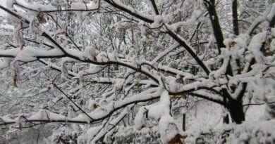 Na jihu napadlo kolem 15cm sněhu. Zasněžené stromy.