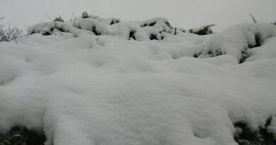 Týden mrazu i sněžení. Zasněžený strom.