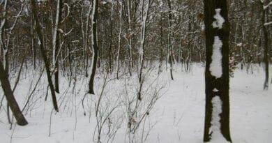 Hodně srážek a výkyvy teploty. Zasněžený les.