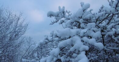 Bude opět sněžit a silně foukat. Zasněžené stromy.