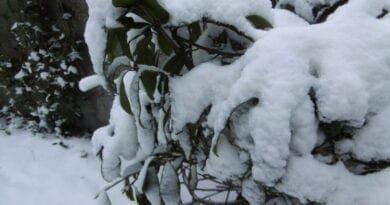 Vydatně sněžilo v ČR i na severu Evropy. Mokrý sníh na keři.