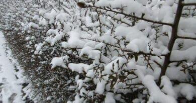 Převážně zimní první dubnový týden. Sníh na keřích.